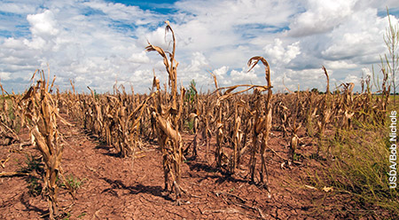 Photo of drought-stressed corn
